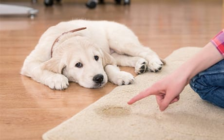 Urine Treatment Carpet Cleaning Kings