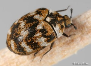 hould Do If You Suspect You Have Carpet Beetle