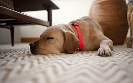dog oil stain carpet cleaning