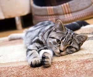 How To Remove Cat Urine Effectively From Your Carpet