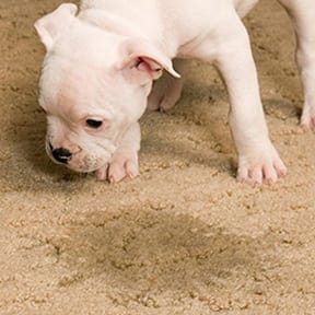 urine pet stain removal for carpets